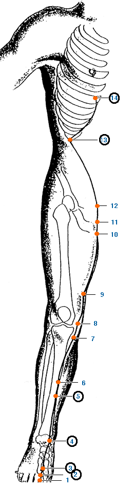Meridianul ficatului al piciorului
