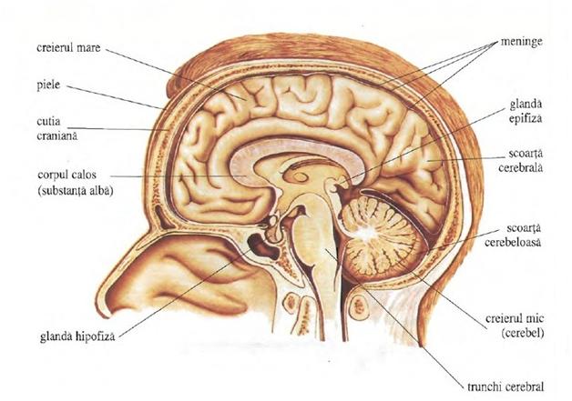 GLANDELE ENDOCRINE