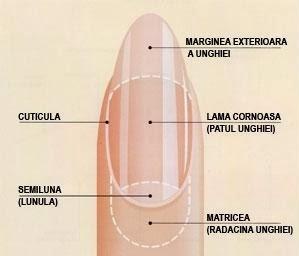 anatomia unghei